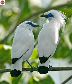 https://www.facebook.com/WonderBirds-171150349611448/ Sáo Bali; Họ Sáo-Sturnidae/Starling; Loài đặc hữu đảo Bali, Indonesia || Bali myna(h) (Leucopsar rothschildi); IUCN Red List of Threatened Species 3.1 : Critically Endangered (CR)(Loài cực kỳ nguy cấp).