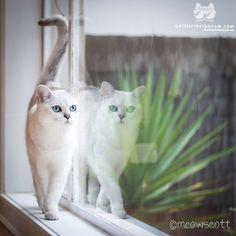 "From @meowscott: ""meet the seriously luscious burmilla boy La La. head over to @meowscott for more pretty kitties! meeeeow "" #catsofinstagram"