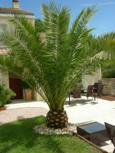 - next picture Palm Trees Garden, Palm Trees Landscaping, Tropical Landscaping, Front Yard Landscaping, Small Palm Trees, Backyard Patio Designs, Yard Design, Outdoor Plants, Outdoor Gardens