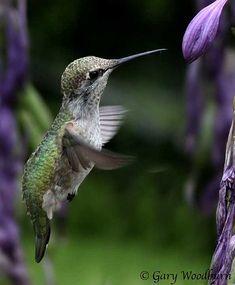 hummingbird and hosta flowers