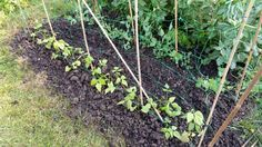 Climbing beams planted on the allotment yesterday. They are ready to climb high. #gardening