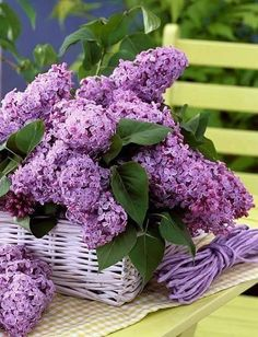 Beautiful purple lilac