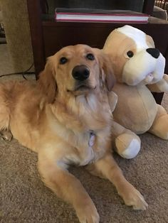 Wa golden retriever rehoming services