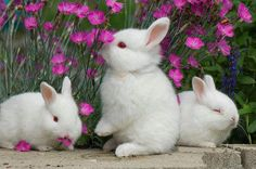 Cute little white bunnies are a sign of Spring! White Bunnies, Baby Bunnies, Cute Bunny, White Rabbits, Adorable Bunnies, Bunny Rabbits, Dwarf Bunnies, Black Bunny, Bunny Bunny