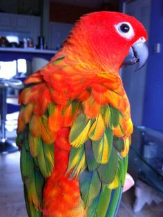 red factor Sun Conure - color mutation