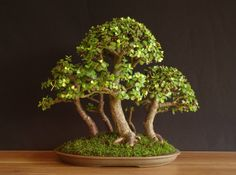 Inspiration for Bonsai Jade