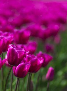 Tulip fields, nea Agassiz, British Columbia, Canada