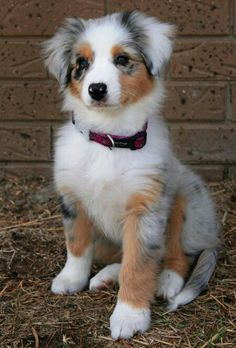 i want. australian sheppard