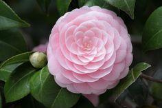 Muda De Camélia (rosa Ou Mesclada Com Branca) - R$ 19,90 no MercadoLivre