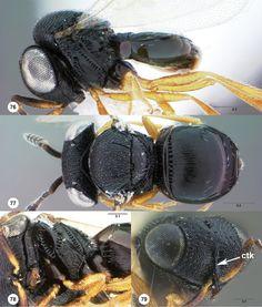 Trissolcus parma female