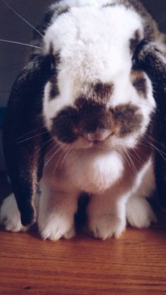 My french lop Murray the bunny, follow on instagram @murraythebunny
