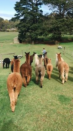 Maybe not natural, since this is farm life.but I love alpacas! Nature Animals, Farm Animals, Animals And Pets, Funny Animals, Alpacas, Cute Creatures, Beautiful Creatures, Animals Beautiful, Lama Animal