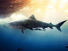 Tiger Shark : Shark Shoot: Fiji : TravelChannel.com