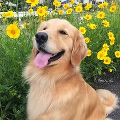 My Golden Retriever looks remarkably similar to this one.