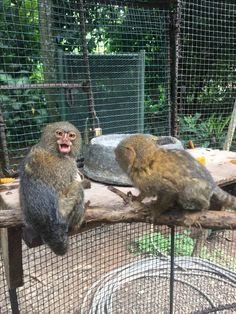 Titi Leons monkeying around! Pygmy Marmoset, Cute Monkey, Shelter, Wildlife, Owl, Australia, Bird, Animals, Shelters