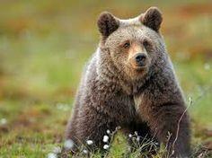 Los úrsidos (Ursidae) popularmente conocidos como osos, pertenecen a la familia de mamíferos carnívoros. Se localizan en América del Norte, América del Sur, Europa y Asia.