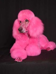 Poodle Dogs love this color, love the cut, love the nails. Poodle Grooming, Pet Grooming, Cute Puppies, Cute Dogs, Animals And Pets, Cute Animals, Poodle Cuts, Pink Poodle, Dog Items