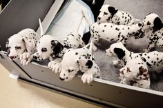 A litter of 8 Dalmatian puppies! Look at the spots Really Cute Puppies, Cute Dogs And Puppies, Baby Dogs, Corgi Puppies, Doggies, Cute Dogs Breeds, Puppy Breeds, Puppy Litter, Dalmatian Dogs