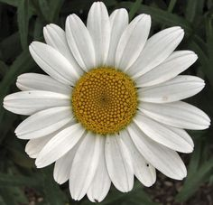 Shasta Daisy Varieties | almost everyone knows what a shasta daisy looks like but it s probably ...
