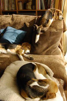 A beagle layover! #dogs #pets #Beagles #puppies Facebook.com/sodoggonefunny