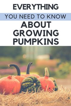 Whether you're going them to eat or for Halloween, in raised beds or a bit patch, growing pumpkins from seeds is a big commitment! Check out my tips and tricks, as well as problems to look out for when growing your own backyards pumpkin patch. Grow Pumpkins From Seeds, Planting Pumpkin Seeds, Pumpkin Garden, Pumpkin Farm, Planting Seeds, When To Plant Pumpkins, Pumpkin Plants, Gardening For Beginners, Gardening Tips