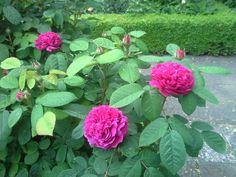 Rosa Ispahan wij hebben de twee struiken aan geplant in 2000 bij de toegang van de Oude Rozentuin.