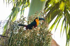 https://flic.kr/p/o4vkg6 | Tucano-do-Bico-Preto | Capturada no Jardim Botânico-RJ