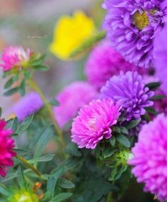 sapphire1707:  When asters and chrysanthemums bloom | by Ri-san | http://ift.tt/1vOtT3d