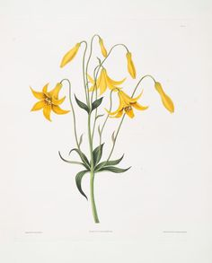 [Canada Lily, Wild Yellow Lily], from A Selection of Hexandrian Plants, Belonging to the Natural Orders Amaryllidae and Liliacæ (via The New York Public Library) Botanical Drawings, Botanical Illustration, Botanical Prints, Botanical Gardens, Wildflower Drawing, Lilies Drawing, Yellow Wildflowers, Design Your Own Poster, Wall Art Wallpaper