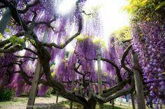 Ashikaga Flower Park, Tochigi Prefecture, Japan by Helio Miura  https://www.flickr.com/photos/helio_miura/13919557658/