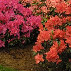 Azaleas are a subgenus of flowering shrubs that can grow up to 6 feet in height and produce numerous large flowers in colors of pink, purple, red or white. They bloom during the spring and can be deciduous or evergreen, depending on the species. Azaleas Landscaping, Garden Shrubs, Front Yard Landscaping, Shade Garden, Pruning Azaleas, Inexpensive Landscaping, Garden Plants, House Plants, Azalea Shrub