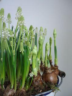 white grape hyacinths grown indoors