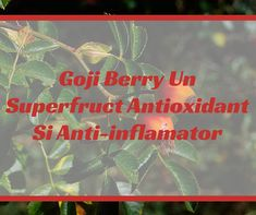 Goji Berry Un Superfruct Antioxidant Si Anti-inflamator Berry, Bury