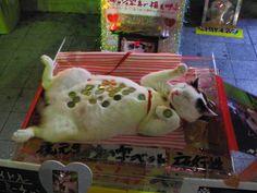 Real Life Maneki Neko Wealth Kitty!