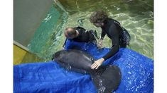 2 orphan manatees from Florida moved to Ohio zoo for rehab Us Travel Destinations, Family Vacation Destinations, Places To Travel, Family Vacations, Zoos In Ohio, Columbus Zoo, Vacations In The Us, Riviera Beach, Manatees