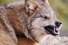 A big bad European wolf. Actually, the photographer said the wold was in the process of yawning. (Tambaku the Jaguar)) Wolf Wallpaper, Animal Wallpaper, Screen Wallpaper, Wolf Spirit, Spirit Animal, Wolf Growling, Of Wolf And Man, Canis Lupus, Angry Wolf