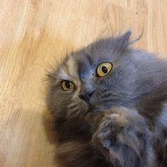 いつも近寄ってこないドルチェが仰向けの状態で擦り寄って視界に登場 - @makoccchan- #webstagram