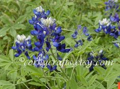 Bluebonnet seeds now available!