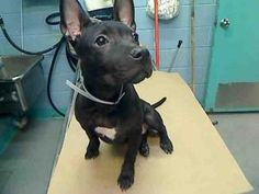 LIL PRINCESS is an adoptable Pit Bull Terrier Dog in New York, NY.  ...Please click on pic for additional info on this dog