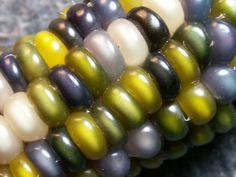 Glass Gem corn: Produces a diversity of gorgeous translucent, jewel-colored ears, each one unique.