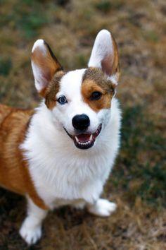 The Daily Corgi: Carl #corgi                                                                  beauitul dog!