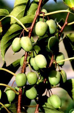 "Kiwi 'Issaï"" from ?, for berry garden"