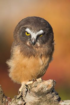 """Saw Whet Owlet"" by Conrad Tan"