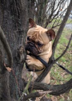 I think this frenchie thinks he's a bear. Adorbs                                                                                                                                                                                 More