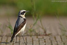 Białorzytka zwyczajna Bird, Animals, Animales, Animaux, Animais, Birds, Animal