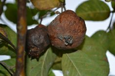 Guava assessment on Allripe by Nunung Emy Puspitasari.