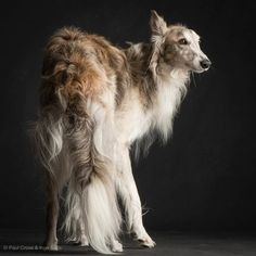 Silken Windhound Credits: Photo by Paul Croes
