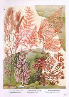 Vintage SEAWEED Ocean Sea Print  1960s pink by VintageInclination, $9.00