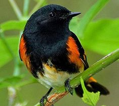 Google Image Result for http://blog.nwf.org/wildlifepromise/files/2011/03/AmericanRedstart_DarleneFriedman_Blog2.jpg