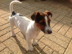 Jack russel Bobbi Dogs, Animals, Animales, Animaux, Pet Dogs, Doggies, Animal, Animais